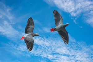 African grey parrots in flight