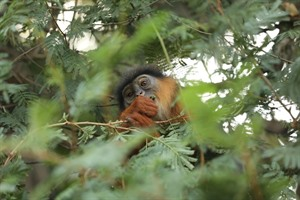 Upper guinea (western red) colobus