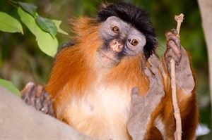 Western red (Upper guinea) colobus, Endangered