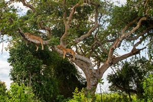Tree-climbing lions are an attraction at Ishasha in Queen Elizabeth National Park