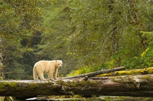 Spirit Bears of British Columbia 1