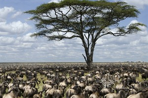 The millions of wildebeest and zebra of the Serengeti migration