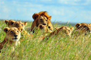Hunting pride of lions in the Serengeti
