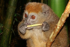Eastern lesser bamboo lemur is easily seen at Andasibe