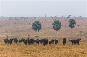 Buffalo in Murchison Falls NP