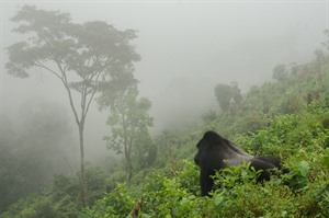 Mountain gorilla silverback surveying his territory