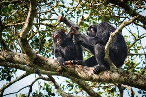 Kibale offers superb Chimp tracking.