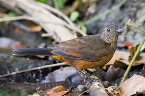 The secretive White-tailed ant-thrush in Kibale Forest