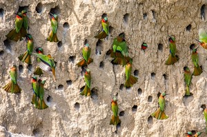 Red-throated bee-eater colony, Queen Elizabeth National Park