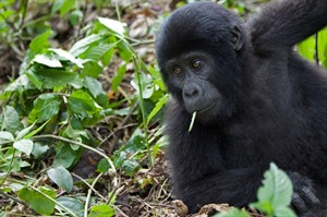 Mountain gorilla youngster, Bwindi