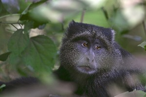 Blue monkey can be seen during Bwindi forest walks