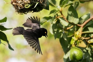 Viellot's black weaver constructing its nest