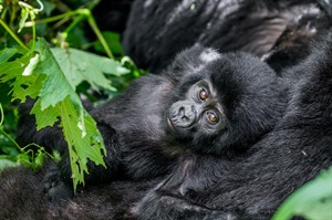 Mountain gorillas now number more than 1,000 (2019)
