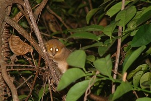 Golden-brown (Ravelobe) mouse lemur