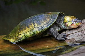 Madagascar big-headed turtle at Durrell's Projet Angonoka, Ampijoroa