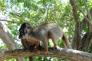 Common brown lemurs (Maxence Bigey)