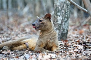 Fosa (Fossa) are best sought in Kirindy