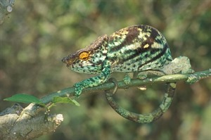 Largest of all chameleons is the rainforest-dependent Parson's chameleon (Franco Andreone)