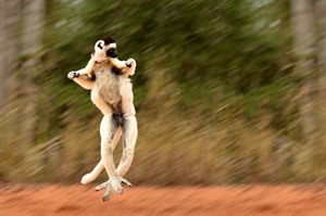The 'dancing' Verreaux's sifaka in Berenty Reserve