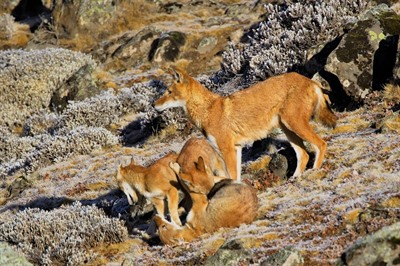 Ethiopia's Endemic Wildlife Small Group Tour - 30 October - 13 November 2020